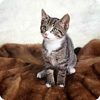 Domestic Shorthair Kitten for adoption in Arlington, Virginia - Ash, Rocco, and Otis