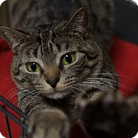 Domestic Shorthair Cat for adoption in Lancaster, Pennsylvania - Sally