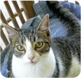 Domestic Shorthair Cat for adoption in Makawao, Hawaii - Heather
