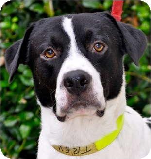 Trey | Adopted Dog | Atlanta, GA | American Bulldog ... Selkirk Rex Atlanta