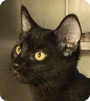 Domestic Shorthair Kitten for adoption in El Cajon, California - Ebony