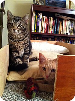 Domestic Shorthair Kitten for adoption in Portland, Maine - Monkey & Rocket