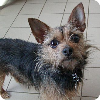 Images Of Chihuahua And Yorkie Mix Calto