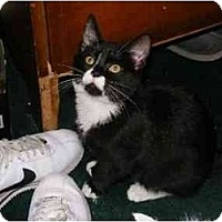 Adopt A Pet :: Sherrys Male Kittens - Cincinnati, OH