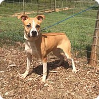 Adopt A Pet :: Camino - Indian Trail, NC