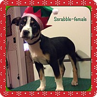 Adopt A Pet :: Scrabble - Harmony, Glocester, RI
