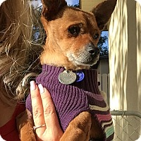 Terrier (Unknown Type, Small)/Chihuahua Mix Dog for adoption in calimesa, California - Cherystal