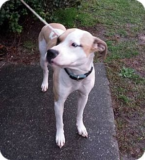 Labrador Retriever/Bulldog Mix Dog for adoption in Wilmington, North Carolina - BOGART