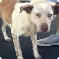 Adopt A Pet :: Kiah - Las Vegas, NV