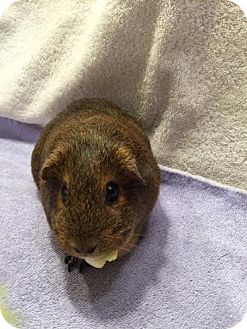Guinea Pig for adoption in Princeton, Minnesota - Dolly