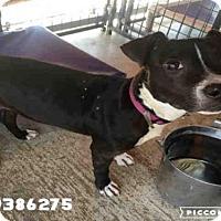 Adopt A Pet :: ZINA - San Antonio, TX