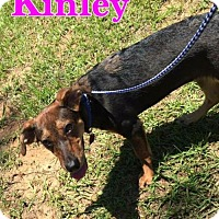 Beagle/Dachshund Mix Puppy for adoption in Longview, Texas - Kinley