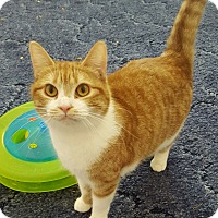 Domestic Mediumhair Cat for adoption in Salisbury, North Carolina - Kayla
