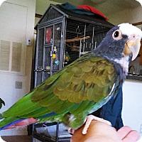 Adopt A Pet :: Peanut - Tampa, FL