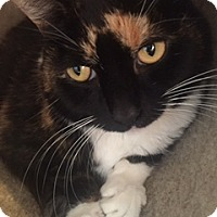 Calico Cat for adoption in West Palm Beach, Florida - Jingles