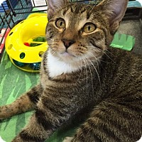 Domestic Mediumhair Kitten for adoption in Mansfield, Texas - Beth