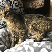 Maine Coon Cat for adoption in Addison, Illinois - Torque