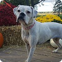 Adopt A Pet :: Lacey - Oakland, MI