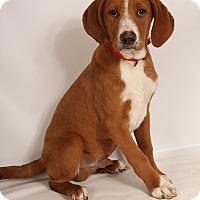 Adopt A Pet :: Bane Houndish - St. Louis, MO