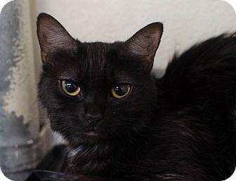Domestic Mediumhair Cat for adoption in Greenwood, South Carolina - Brownie