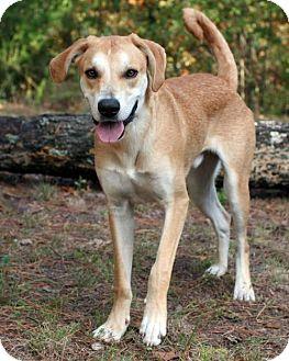 Saluki/Labrador Retriever Mix Dog for adoption in Rochester, New York - Gambit