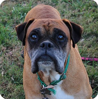Boxer Dog for adoption in Centerville, Tennessee - Albus