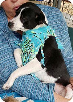 Terrier (Unknown Type, Medium)/Border Collie Mix Dog for adoption in Baileyton, Alabama - Zena