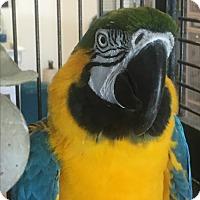 Macaw for adoption in Punta Gorda, Florida - George
