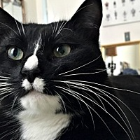 Adopt A Pet :: Nugs, the Dapper Green-eyed Tux! - Brooklyn, NY