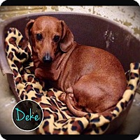 Dachshund Dog for adoption in Hartford City, Indiana - Deke