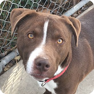 Pit Bull Terrier/Labrador Retriever Mix Dog for adoption in Chula Vista, California - Marlow
