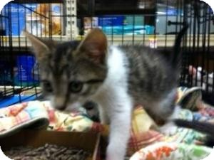Domestic Shorthair Kitten for adoption in Cranford/Rartian, New Jersey - Daisy