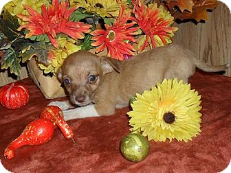 Chihuahua/Dachshund Mix Puppy for adoption in Chandlersville, Ohio - Chi-weenie