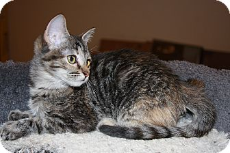 Domestic Shorthair Kitten for adoption in Phoenix, Arizona - Thumbolina