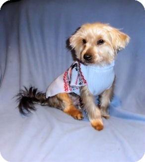 Yorkie, Yorkshire Terrier Puppy for adoption in Mooy, Alabama - Little Joe