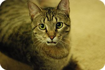 Domestic Shorthair Cat for adoption in St. Louis, Missouri - Soli
