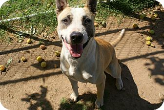 Bull Terrier Mix Dog for adoption in Yuba City, California - 04/27 Mack