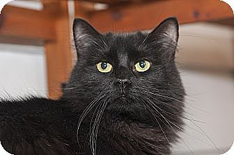 Domestic Longhair Cat for adoption in North Haledon, New Jersey - Basil
