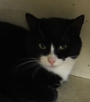 Domestic Shorthair Cat for adoption in Battle Creek, Michigan - Toby