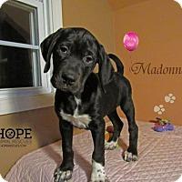 Adopt A Pet :: Madonna - Godfrey, IL