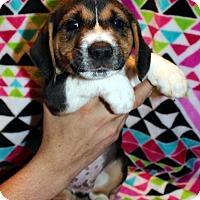 Adopt A Pet :: Shaggy - Mansfield, TX
