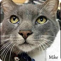 Adopt A Pet :: Mike Tyson - Ottumwa, IA