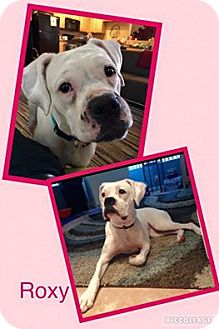 Boxer Dog for adoption in Scottsdale, Arizona - Roxy