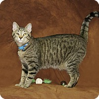 Domestic Shorthair Kitten for adoption in Hawk Point, Missouri - Hawthorn