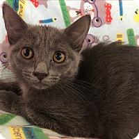 Domestic Shorthair Kitten for adoption in Middletown, New York - Campfire S'mores