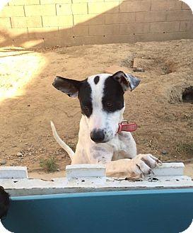 Bull Terrier Mix Dog for adoption in BONITA, California - Cherise