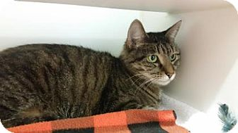 Domestic Shorthair Cat for adoption in Reisterstown, Maryland - Ballet