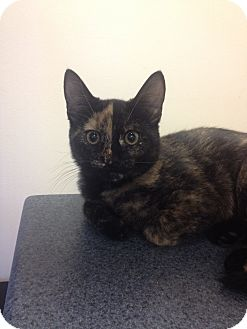 Domestic Shorthair Kitten for adoption in Portland, Maine - River