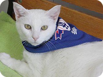 Domestic Shorthair Cat for adoption in Pico Rivera, California - Queenie