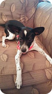 Terrier (Unknown Type, Medium) Mix Puppy for adoption in Christiana, Tennessee - Cagney